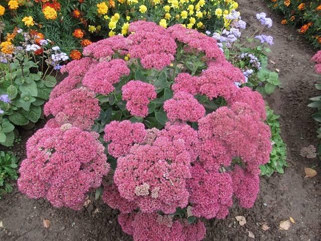 Очиток (76 фото): описание цветка седум, посадка и уход за растением в открытом грунте, использование в ландшафтном дизайне сада, выращивание в горшке в домашних условиях