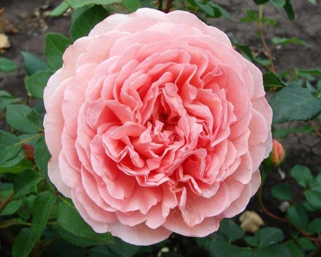 Роза бланк мейяндекор (blanc meillandecor) — характеристики культуры