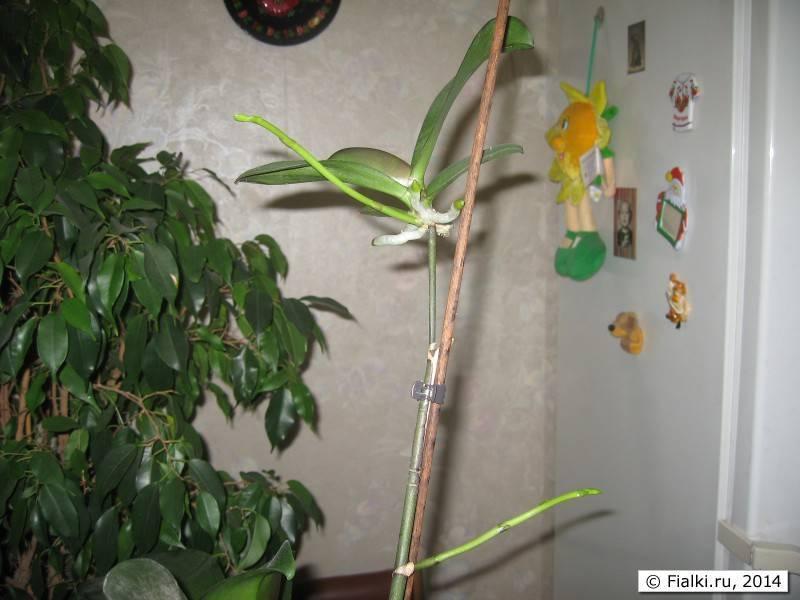 Основные варианты размножения орхидеи дома: черенки, цветонос, корнями и другие