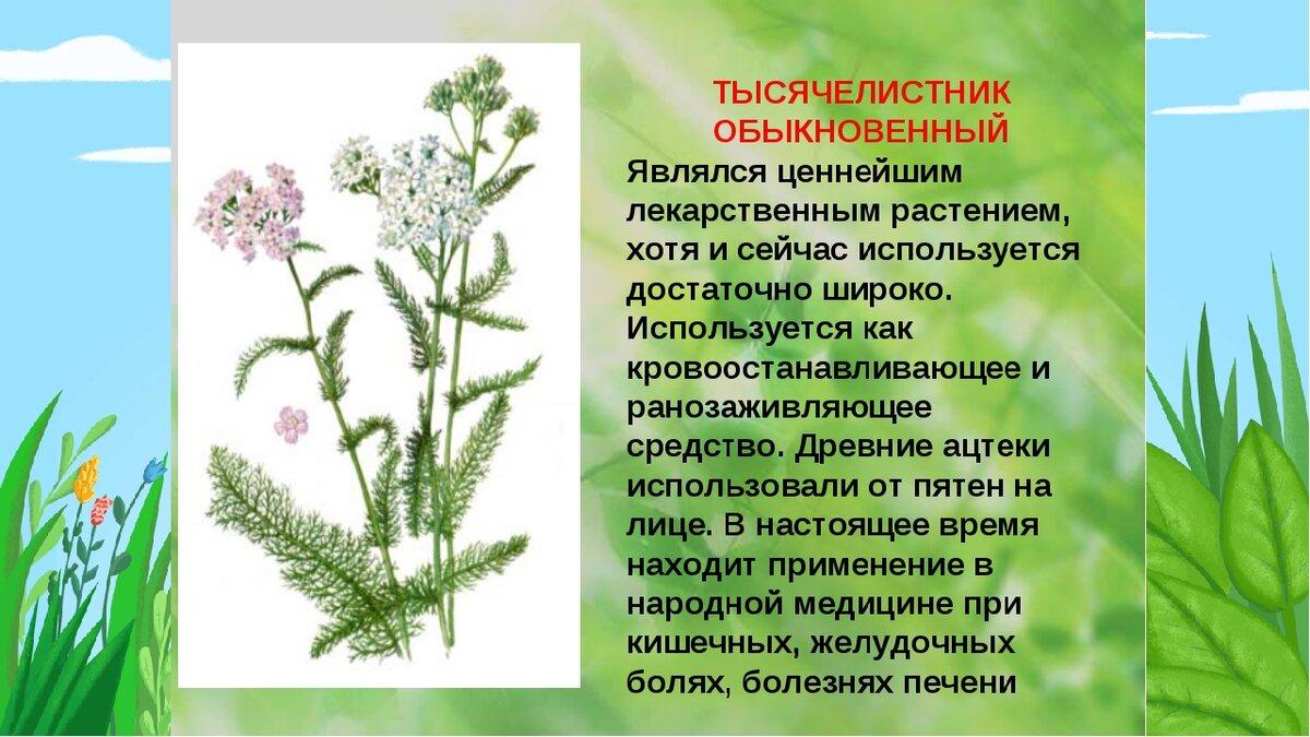 Описание крестовника обыкновенного: может ли нанести вред, чем полезно растение