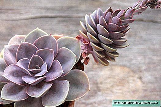 Описание черного замиокулькаса: что за цветок долларовое дерево блэк равен