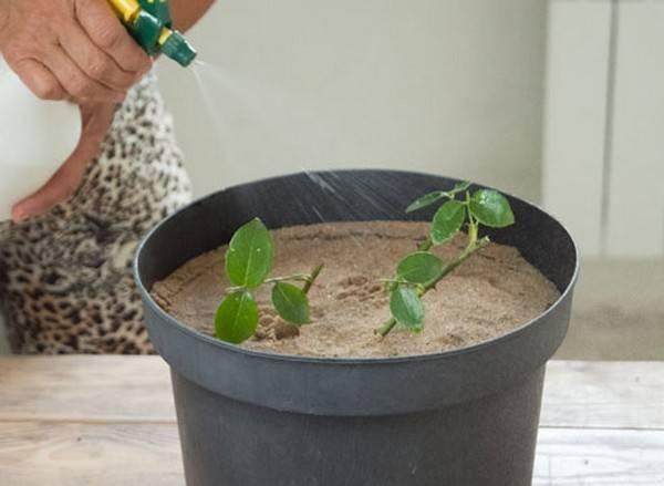 Может ли роза в вазе дать росток? как понять, что цветок пустил корень, и каким образом посадить молодой побег?