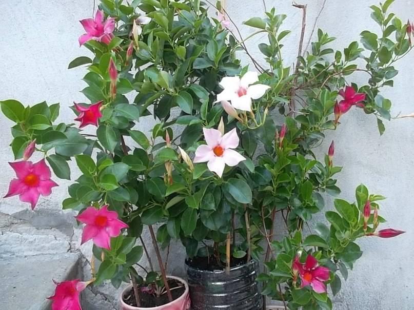 Дипладения (мандевилла) — выращивание и уход в домашних условиях