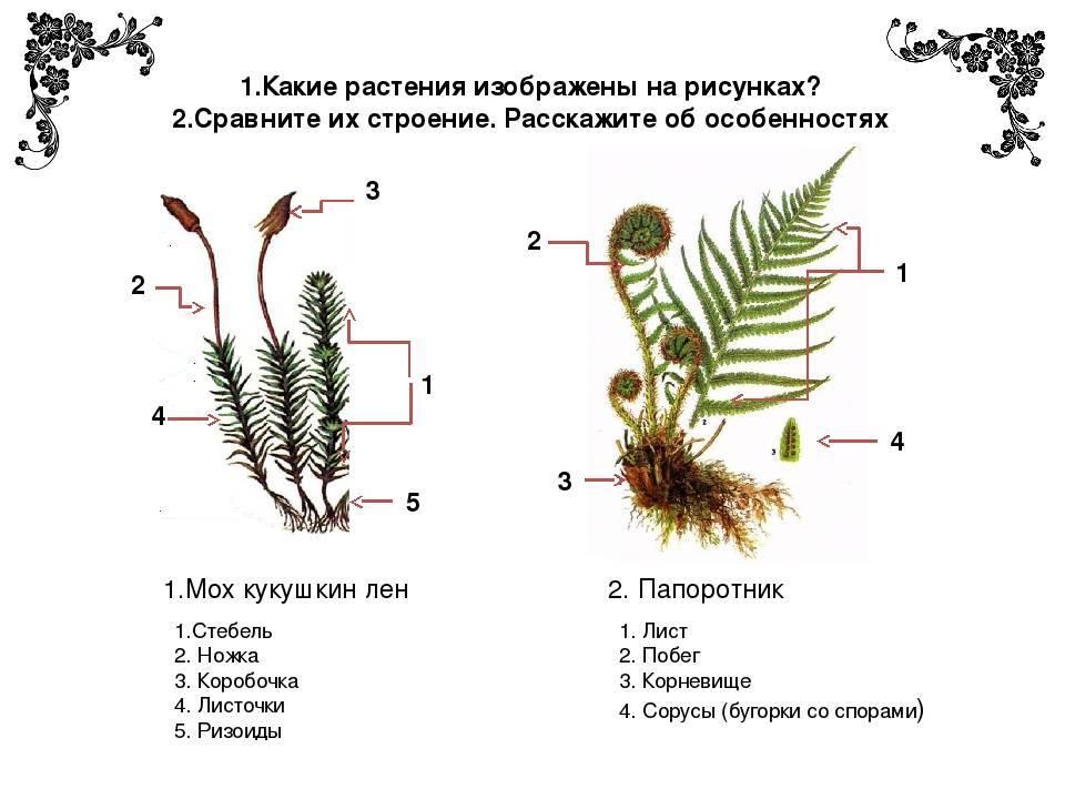 Съедобный папоротник орляк — как выглядит и где растет - pocvetam.ru