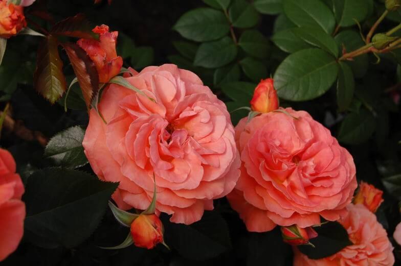Роза гольдэльзе (goldelse) — что это за сорт флорибунда