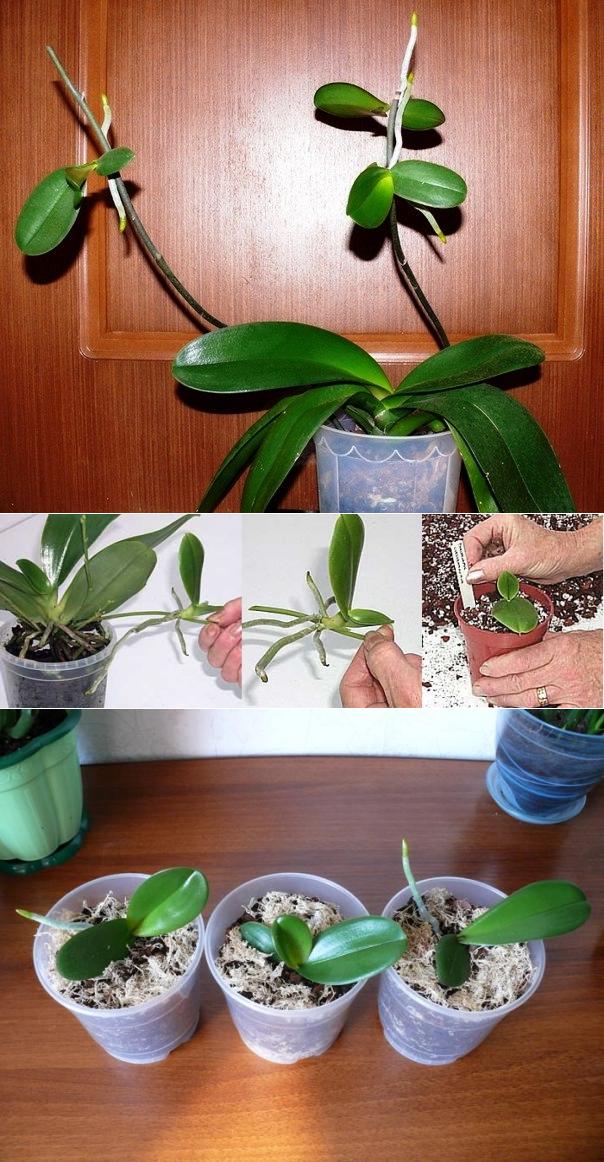 Варианты как правильно пересадить отростки у орхидеи, примере на стебле и стволе