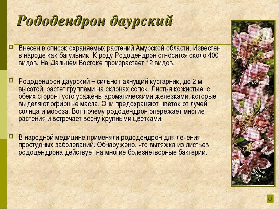 Рододендрон адамса или саган-дайля: описание и фото растения, используемого в том числе для приготовления чая