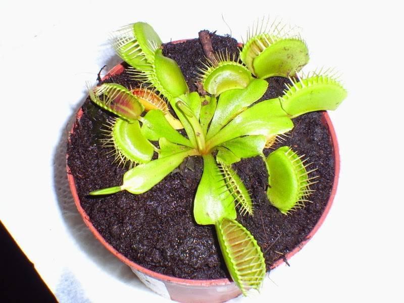 Саррацения — растение хищник