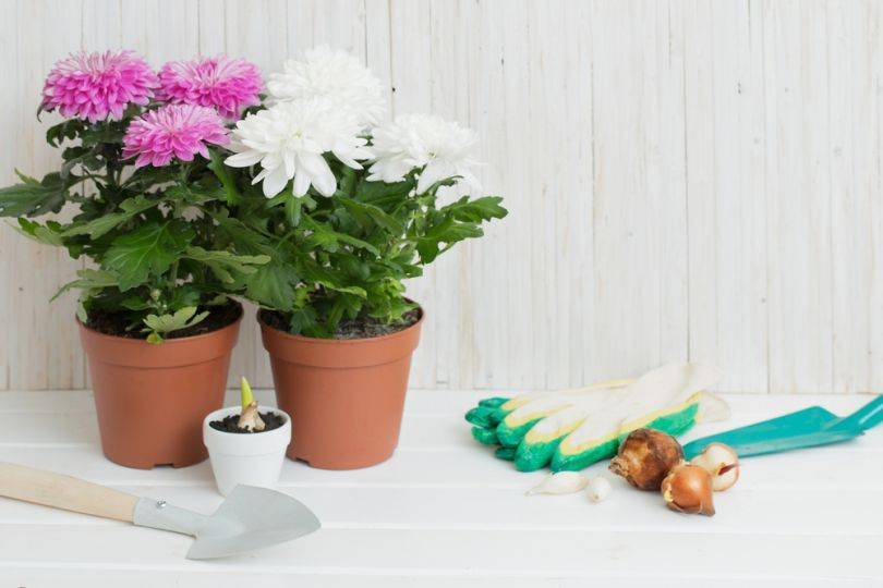 Хризантема в горшке - уход в домашних условиях!