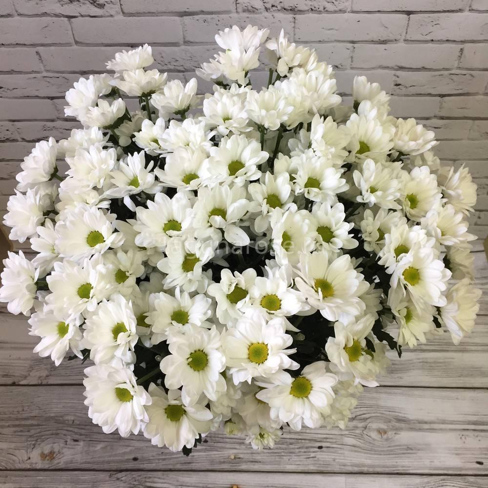 Хризантема мультифлора (52 фото): посадка шаровидной хризантемы в открытом грунте и тонкости ухода, выращивание различных сортов, зимовка в сибири
