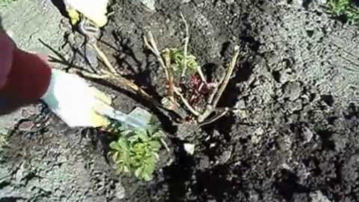 Устранение превращения розы в шиповник: что делать, почему роза стаёт шиповником