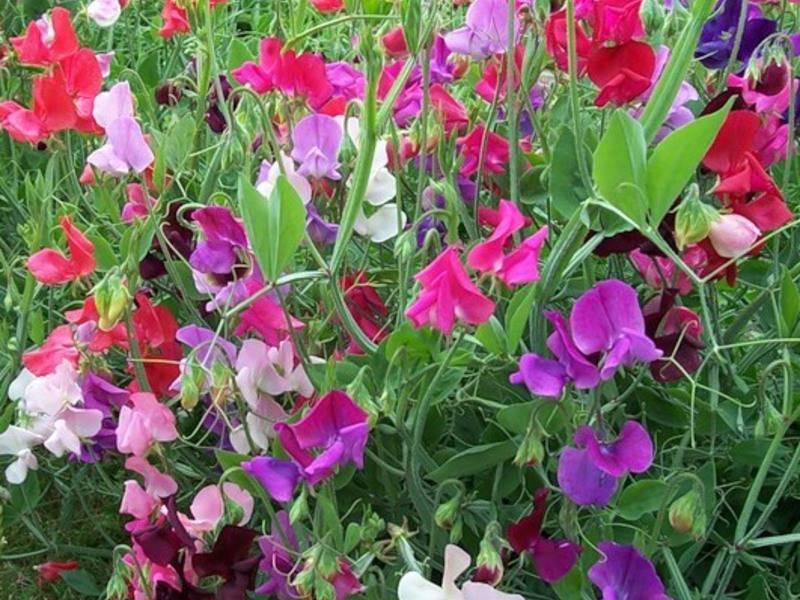 Душистый горошек многолетний: фото, посадка и уход, советы по выращиванию