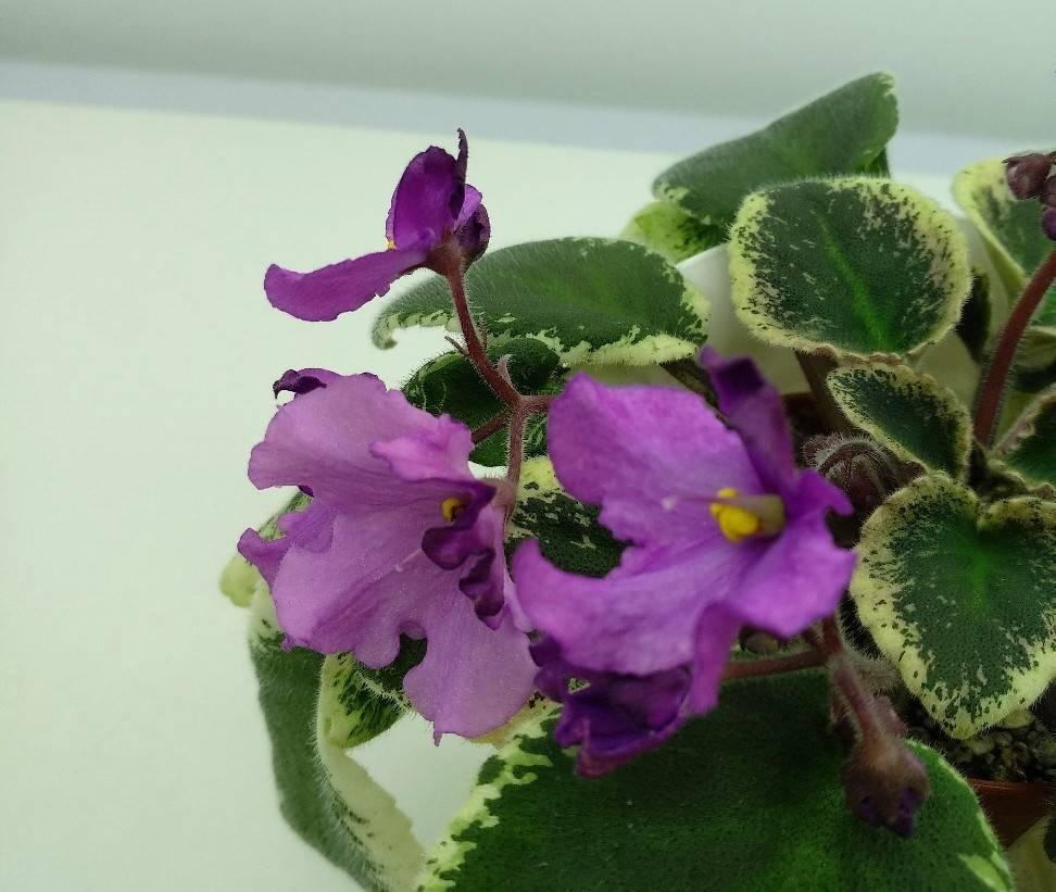 Комнатная узамбарская фиалка (сенполия): фото, описание цветков и листьев, полив, уход и размножение растения