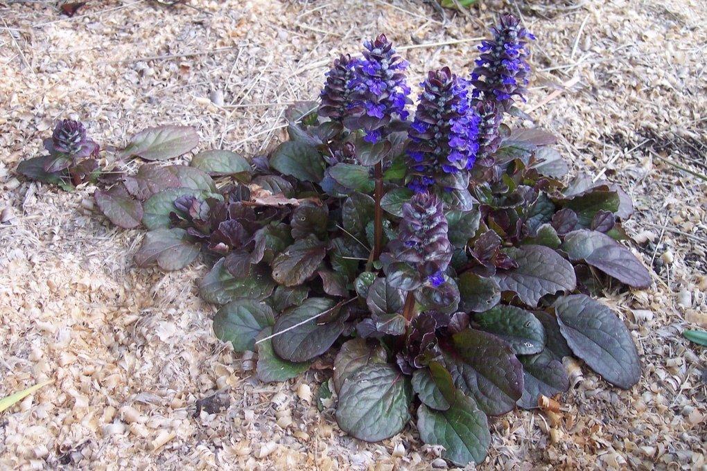 Живучка ползучая: выращивание из семян, фото, посадка и уход в открытом грунте
