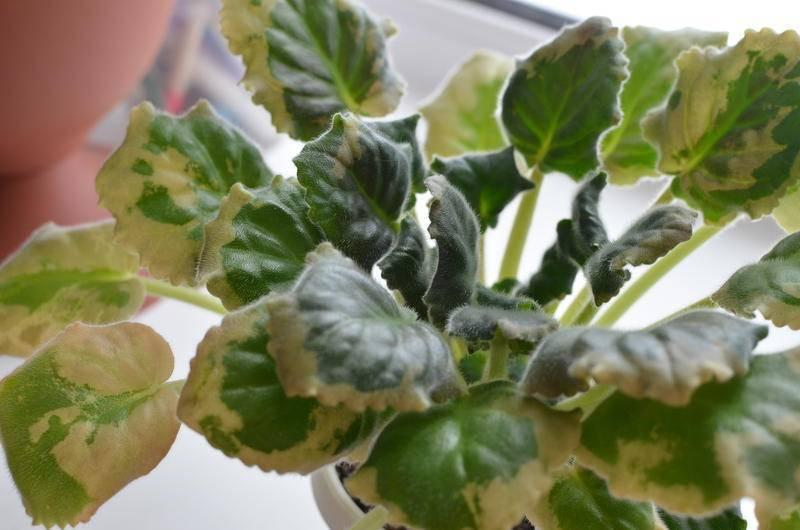 Все возможные проблемы с листьями алоэ: причины недуга, эффективное лечение