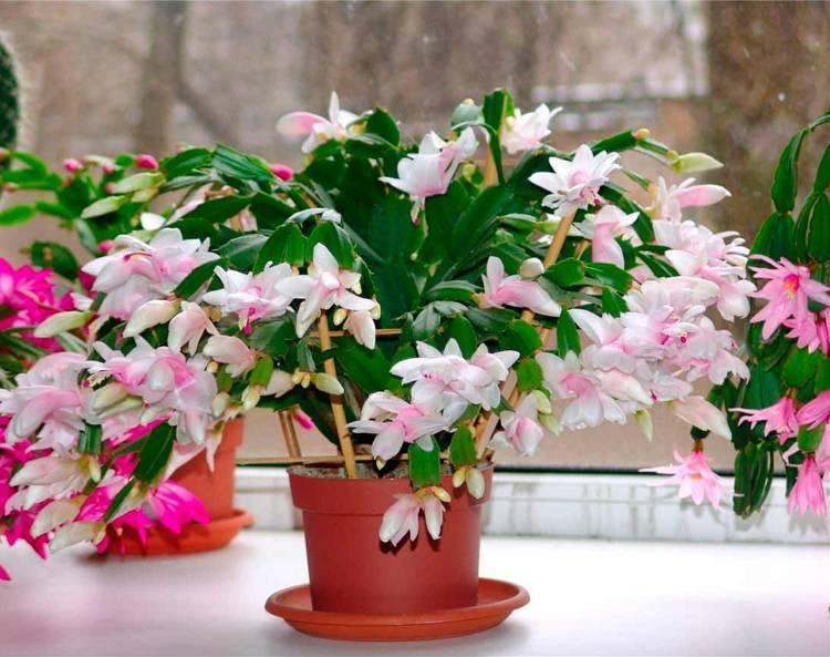 Как посадить декабрист? как правильно рассаживать отростки и листочки? посадка и уход за цветком шлюмбергера в домашних условиях