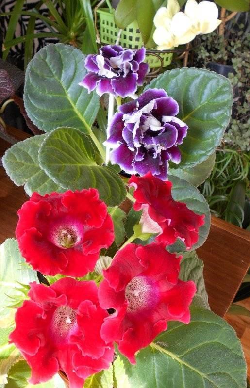 Разновидности глоксинии махровой: какие бывают сорта и расцветки для дома