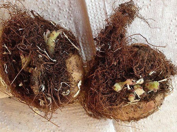 Как правильно происходит размножение глоксинии листом? инструкция и советы