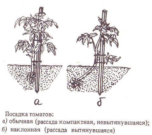 Правила посадки и ухода за лапчаткой прямостоячей в открытом грунте: семейство, полив
