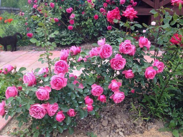 Роза астрид графин (astrid grafin von hardenberg) — посадка и уход