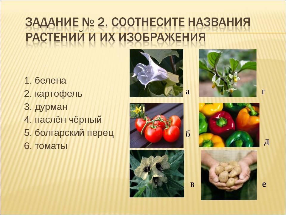 Семейства пасленовых растений: список популярных представителей семейства
