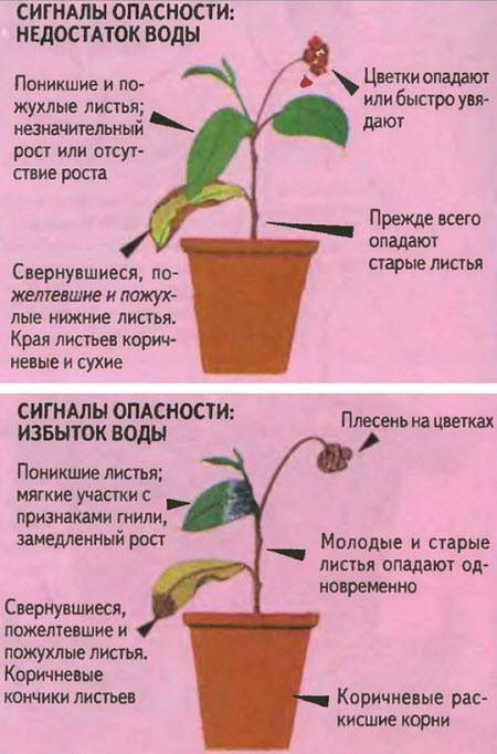 Как нужно поливать комнатные цветы?
