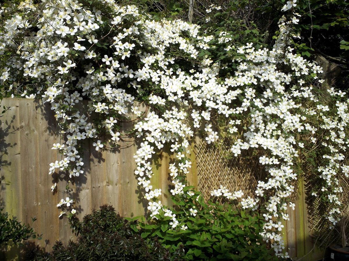 Садовый плющ – посадка и уход