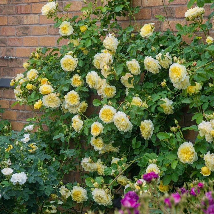 Описание кустовой розы сорта принц: что это за английский парковый цветок