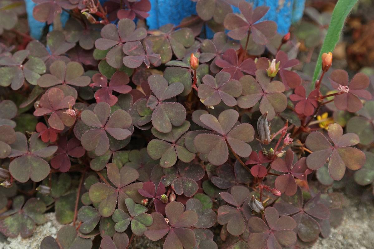 Заячья капуста – лечебные свойства травы, как выглядит?
