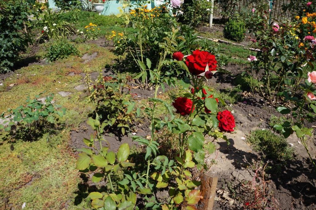 Почему роза превращается в шиповник
