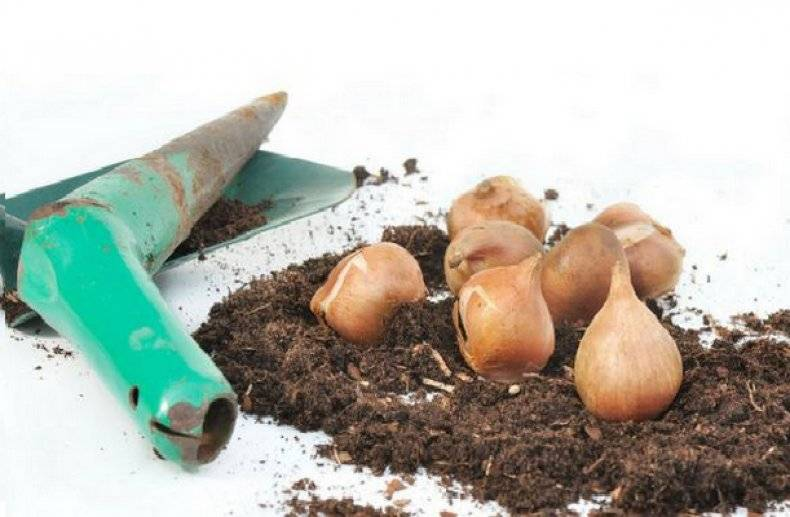 Как выбрать и хранить луковицы тюльпанов до посадки