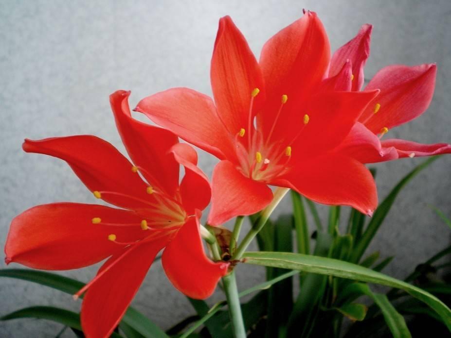 Цветок валлота (35 фото): уход и выращивание в домашних условиях, описание видов: прекрасная, пурпурная. цветение валлоты (циртантуса)