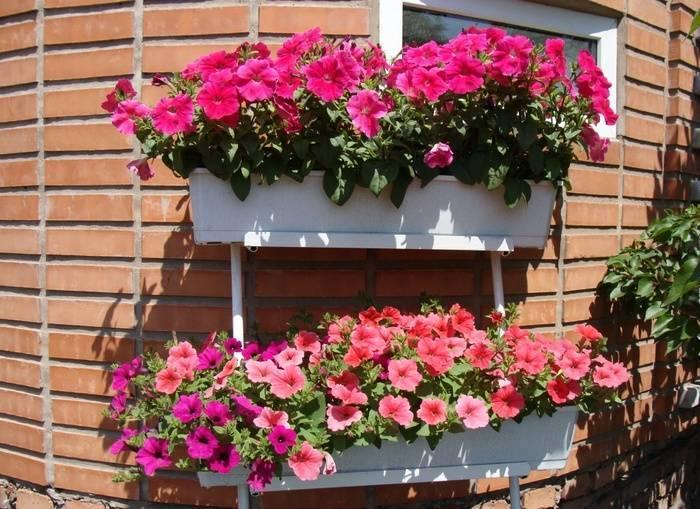 Всё о посадке петунии и об уходе за ней с фото: как правильно выращивать в домашних условиях?