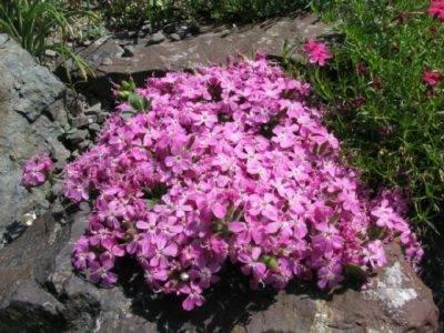 Мыльнянка (сапонария) – посадка и уход в открытом грунте