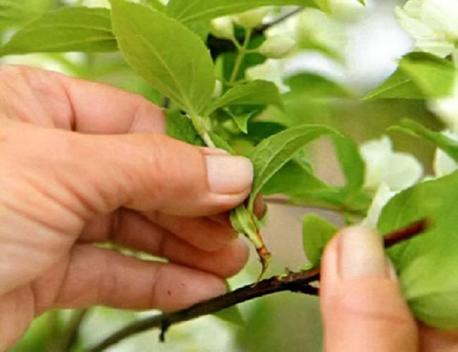 Почему не цветет чубушник: причина и что делать не цветет чубушник