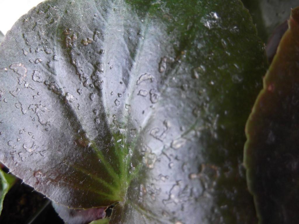 Болезнь растения: почему у бегонии желтеют и сохнут листья?