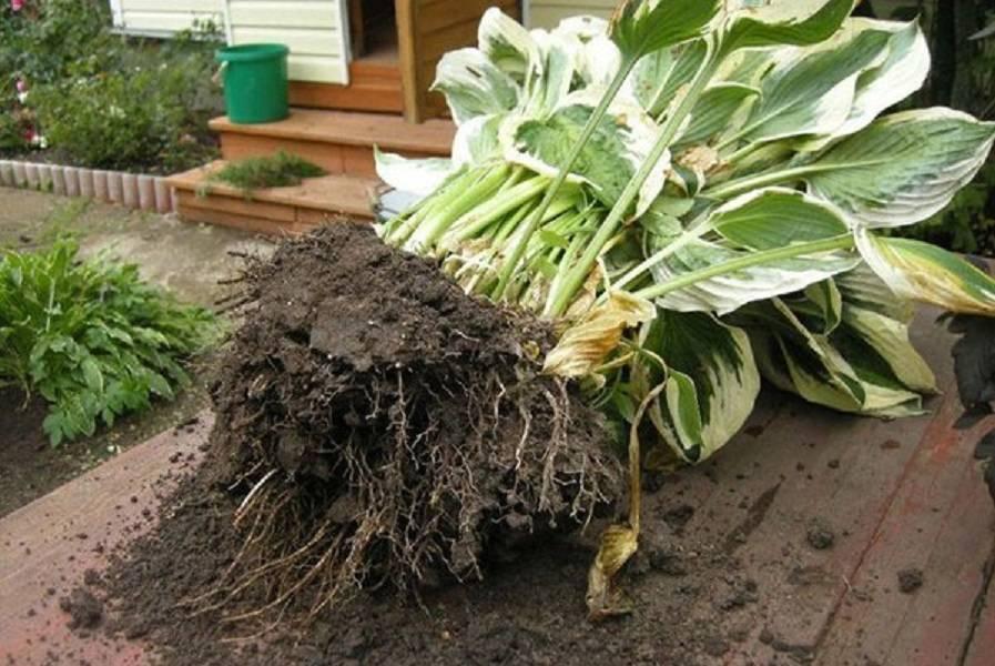 Особенности выращивания хосты – посадка и уход за растением в саду