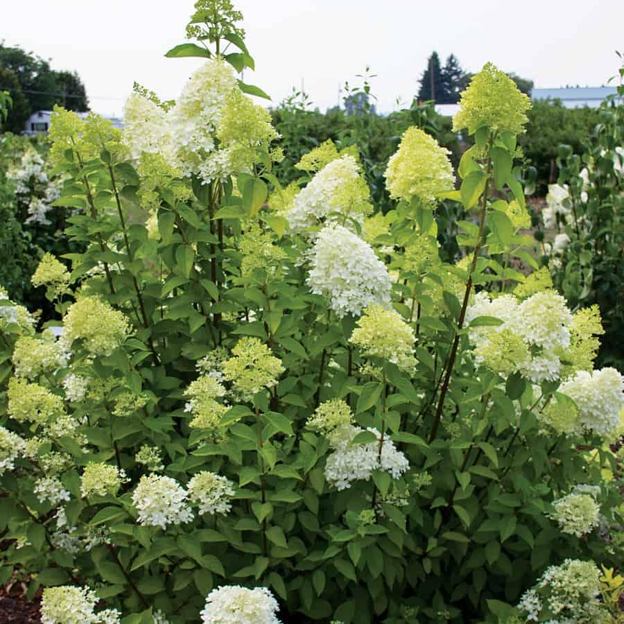 Гортензия лаймлайт — описание цветка и его внешний вид