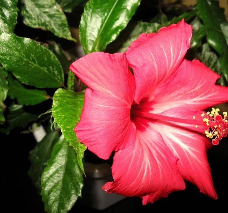 Сотни видов китайской розы: разнообразные сорта гибискусов!