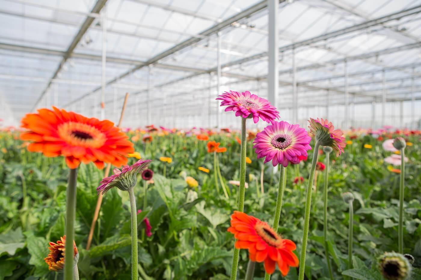 Герберы садовые: посадка и уход