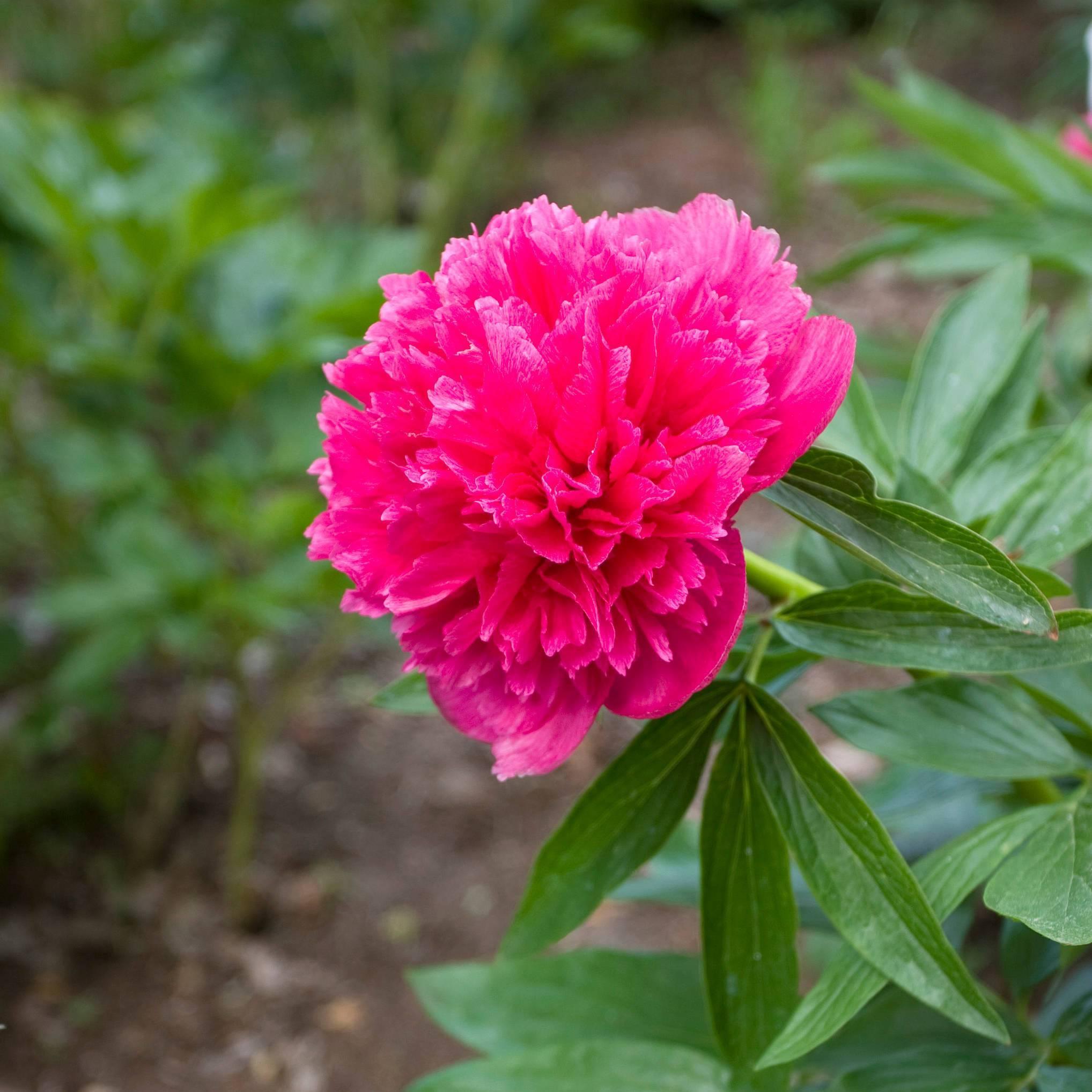 Пион розеа плена (rosea plena): описание, фото, посадка и уход