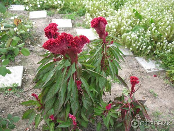 Целозия гребенчатая — выращивание из семян в домашних условиях