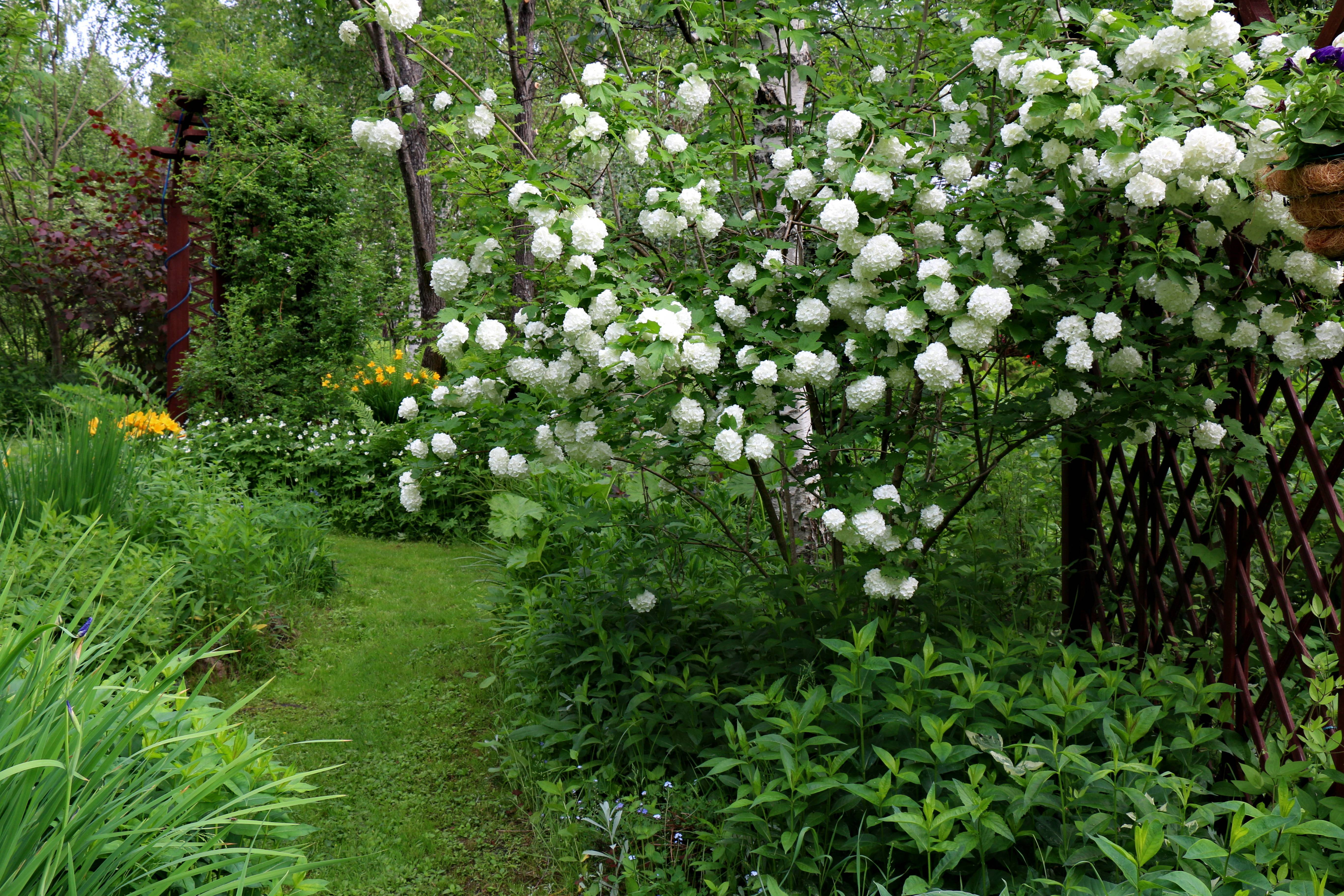 Особенности выращивания калины бульденеж: выбор места для посадки, советы по уходу и размножению кустарника