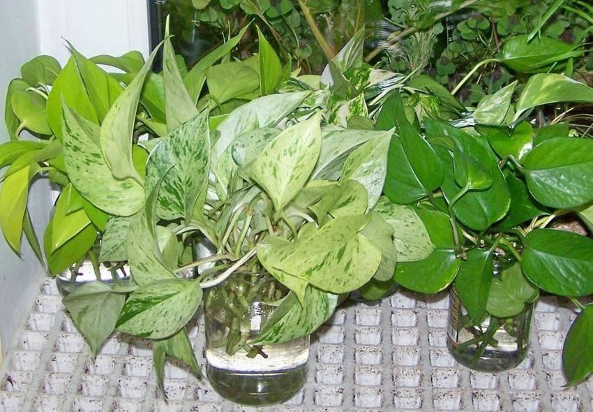 Лиана синдапсус: уход за комнатным цветком в домашних условиях, фото и названия видов, размножение растения