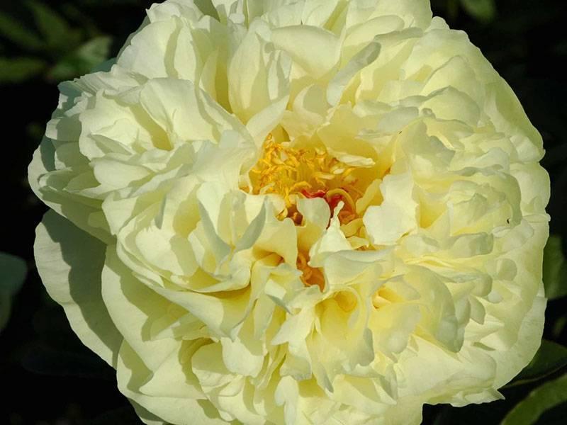 Все о травянистых желтых пионах: есть ли махровые сорта, бывают ли лимонного цвета