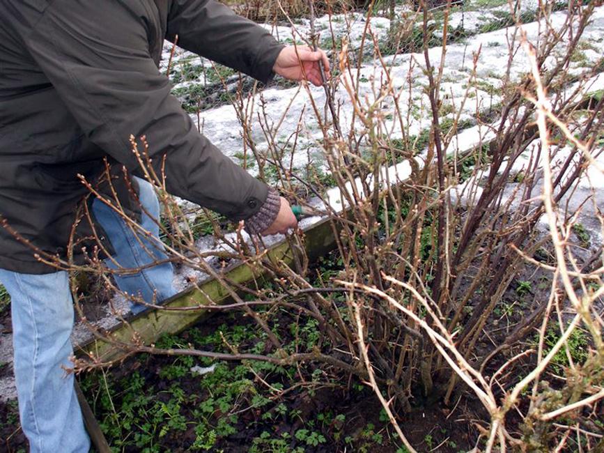 Как и когда посадить саженец крыжовника осенью и весной