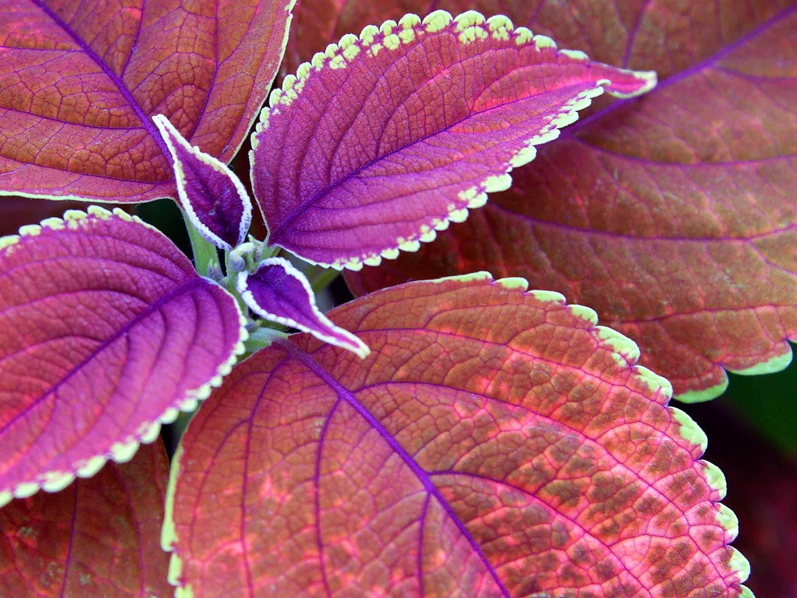 Фиолетовый цветок. цветок с фиолетовыми листьями. фиолетовые цветы: названия, фото