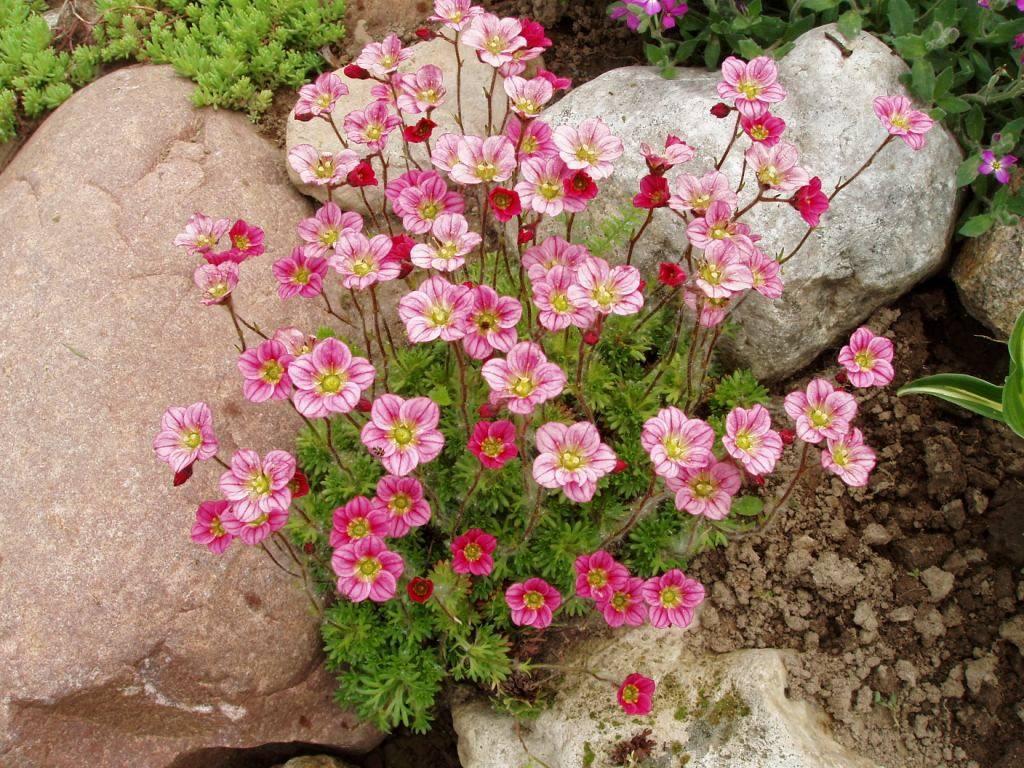 Камнеломка — посадка и уход в открытом грунте, в саду, дома