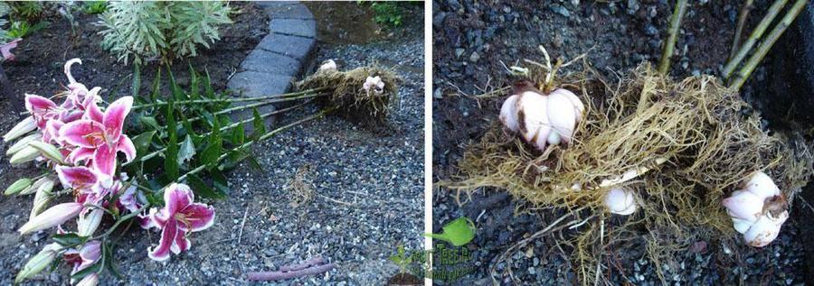 Подкормка, обрезка и пересадка лилий после цветения