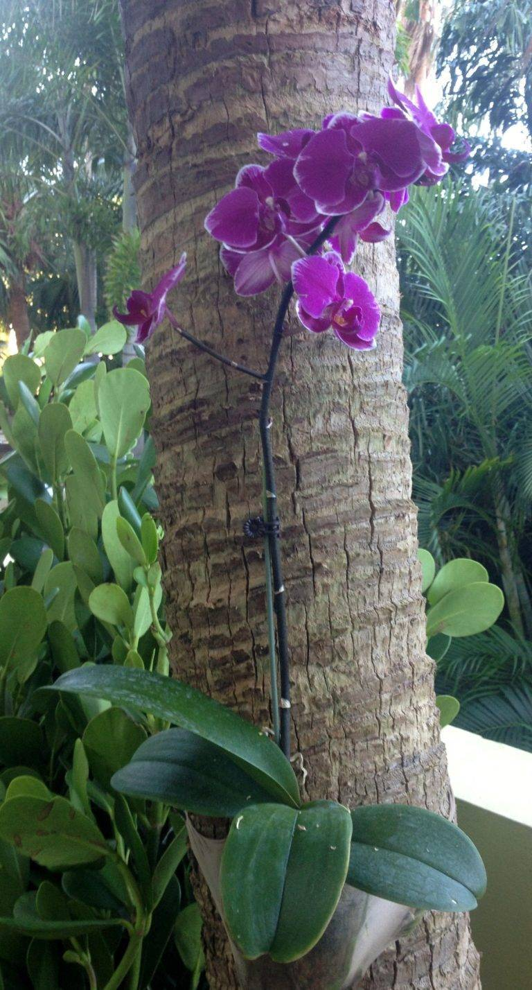 Фаленопсис phalaenopsis